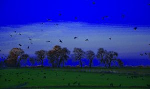 Black Crows in the Field by Marilyn958