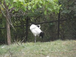 White Crowned Crane 3 by dragons011
