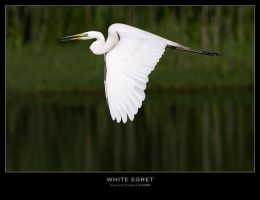 WhiteEgret by ClaudeG