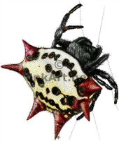 Spiny Backed Orb Weaver Spider by rogerdhall
