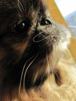 Peenut the pekinese by rainboww-horror