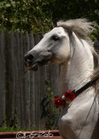 Andalusian Stallion - 26 by ElaineSeleneStock