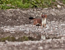 Stoat by Xs9nake
