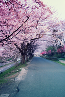 Sakura Road. part II by eloque