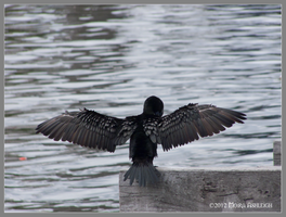Cormorant Wings by Mogrianne