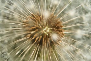 Core of the Dandelion by josephacheng