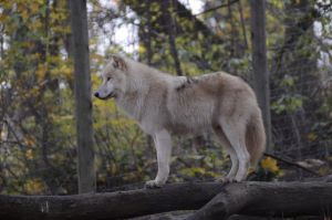 New White Wolves 8 by Lakela