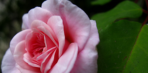 TPM Blank Icon Pink Rose by OneofakindKnight
