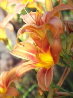 Day Lilies III by MadGardens