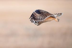 Short Eared Owl - Look out below by JestePhotography