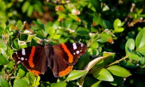 Red Admiral by todto