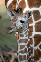 new born giraffe 2 by Yair-Leibovich