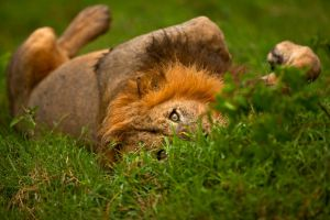 African Lion 49 by catman-suha