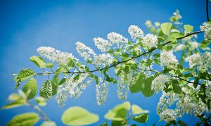 Bird-cherry tree by Eevl