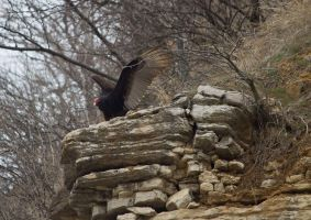 Turkey Vulture by MistressVampy