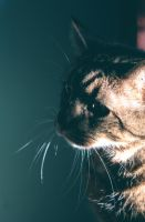 Levi our Cat by kbhollo