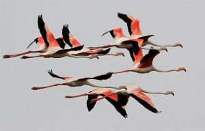 Rush Hour - Greater flamingos by Jamie-MacArthur