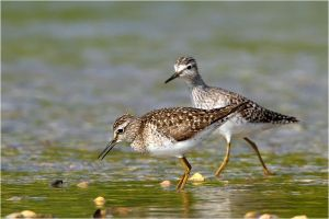 wood sandpipers by nakitez