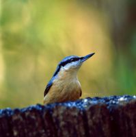 Nuthatch by KatiBear