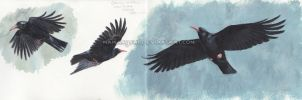 Red-billed Choughs by makangeni