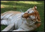 Tigress: Love me by TVD-Photography