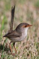 Superb Fairywren (F) by strictfunctor