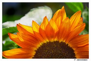 sunflower at its best by bracketting94