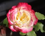 Cullinen South African Rose by LocationCreator