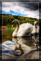 Swans 1 by joscon29