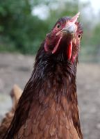 captivated hen by HumbleBeez