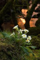 Primrose II by Alex37