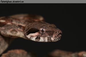 Central American Boa by FantasticFennec