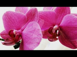 Orchids by Just--Saying