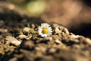 daisy by belie-photo