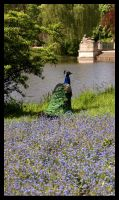 Thoughtful peacock by LadybirdM