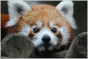 A cute red panda by medlinniel