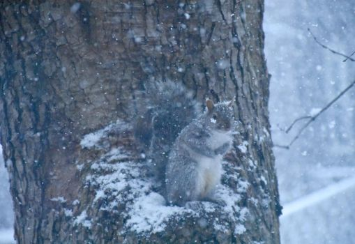 Squirrel In Tree Nook, Snow Falling by Miss-Tbones