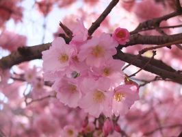 Cherry blossoms by Michawolf13