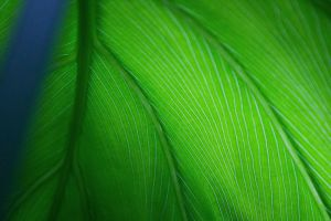 Leaf of an Elephant Plant 2 by Aquarianeye