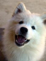 my samoyed puppy by bubumo