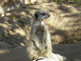 Meerkat 2 by Theheartcanburn