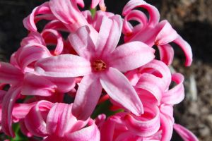 Vibrant Hyacinth by wick3dsentinel