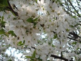 spring blossom 3 by x-andRa-x