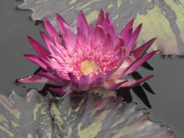 Water Lily by PeriwinklePaisley