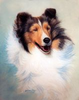 Sweet-faced Sheltie by KathleenCasey