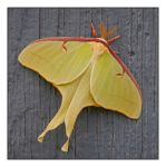 Luna moth.DSCN2011, with story by harrietsfriend