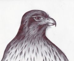 Brown Falcon by BeckyHolly