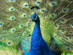 Peacock 2 by Lionessrules