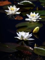 water lillies by awjay