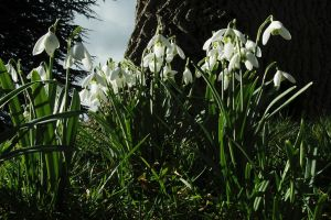 No Snow, But Snowdrops by EarthHart